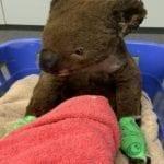 'Adopt a Koala', Sifat Prihatin Pelajar UTM Ini Wajar Dipuji